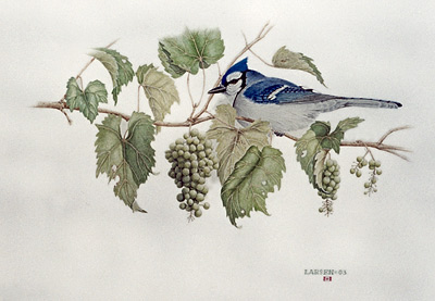 """Blue Jay with Wild Grapes"""