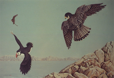 """On the Hunt - Peregrine Falcons & Atlantic Puffin"""